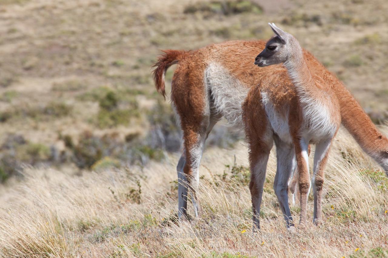 Guanaco (Lama guanicoe), Torres del Paine National Park, Chile