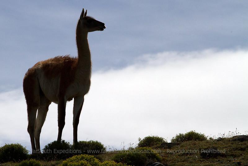 Guanaco, Lama guanicoe