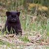 Kodkod, Güiña (Leopardus guigna)