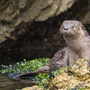 Marine Otter | Chungungo | Lontra felina, Puñihuil, Chiloé, Chile © Claudio F. Vidal, Far South Exp
