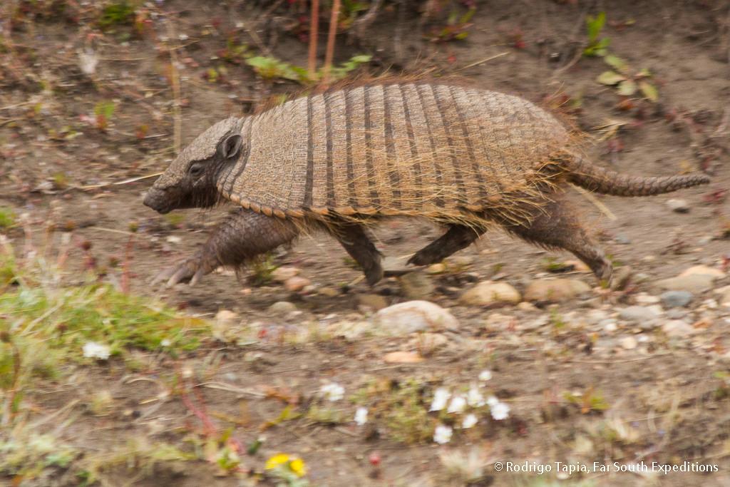 Patagonian Hairy Armadillo · (Chaetophractus villosus)