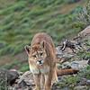 Puma - Puma concolor<br /> Torres del Paine National Park<br /> <br /> © Roberto Donoso