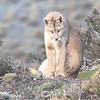 Puma, Puma concolor puma