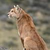 Puma, PN Torres del Paine. Marzo 2017