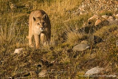 TDP03 Pumas of Torres del Paine