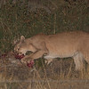 Puma, Puma concolor patagonica