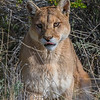 Puma, Puma concolor patagonica. Torres del Paine National Park, Chile