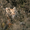 Puma, Puma concolor | Torres del Paine National Park