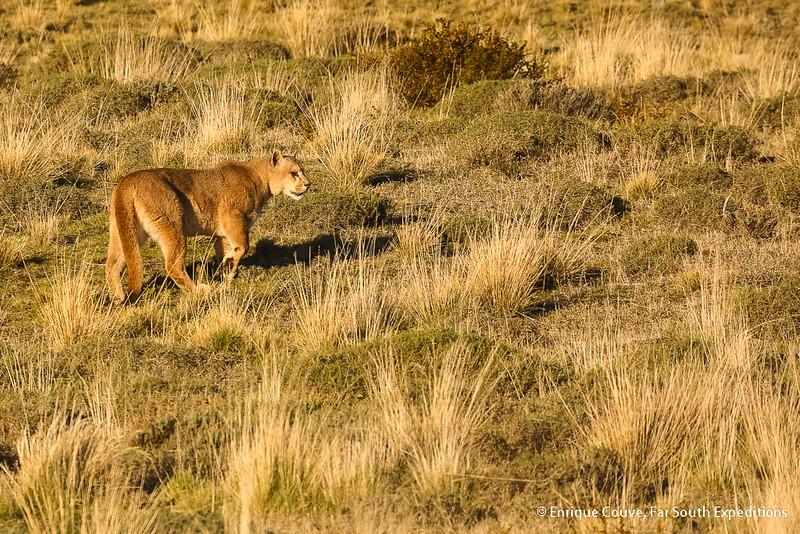 Puma - Puma concolor