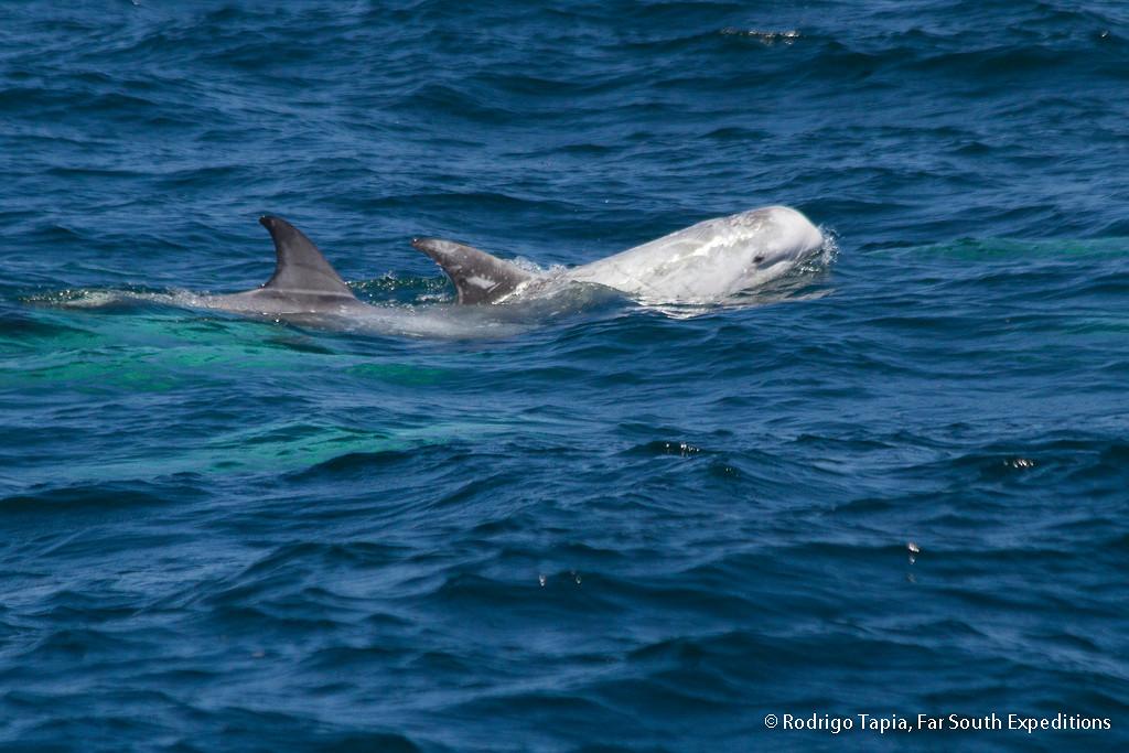 Risso`s Dolphin · (Grampus griseus)
