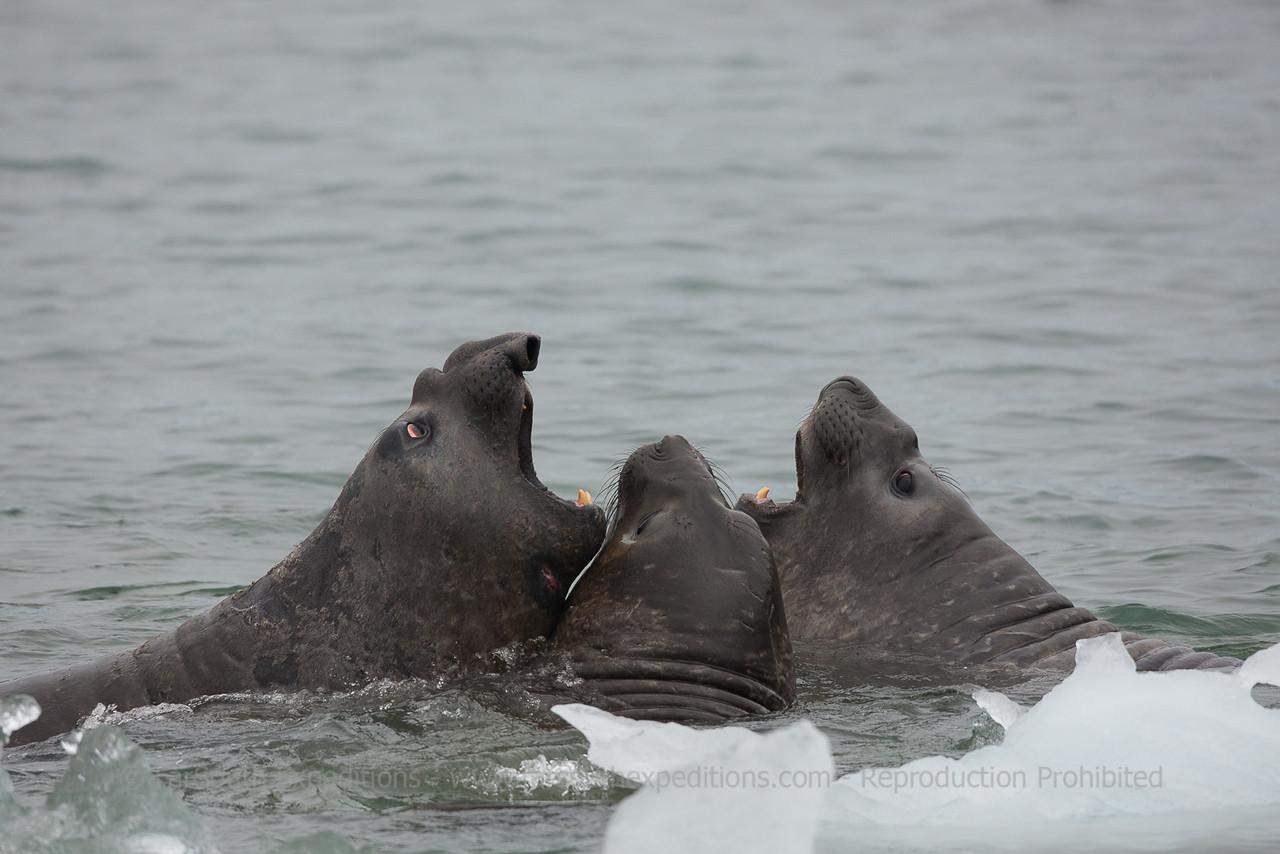 Southern Elephant Seal (Mirounga leonina), Tierra del Fuego, Patagonia, Chile