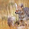 Southern Grey Fox · Pseudalopex griseus