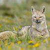 Grey Fox, Torres del Paine, Octubre 2017