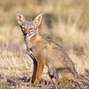 Southern Grey Fox · (Pseudalopex griseus)