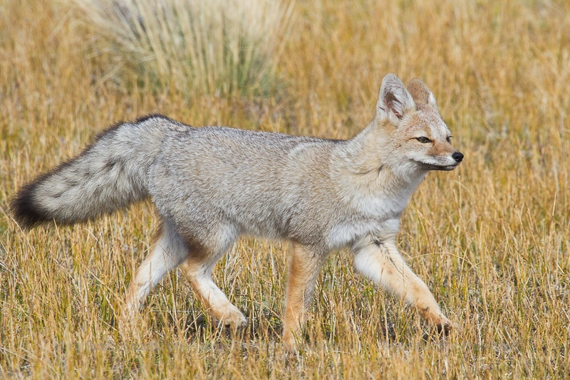Southern Grey or Chilla Fox, Pseudalopex griseus