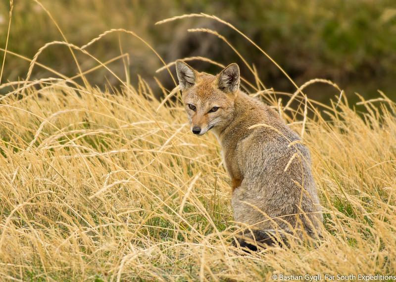 Southern Grey Fox, Zorro Gris (Pseudalopex griseus)