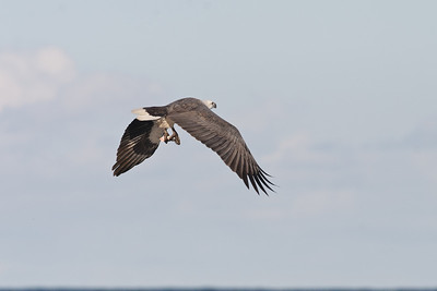 White-bellied Sea Eagle (flew straight in and grabbed some chum) Wollongong, NSW May 28, 2011 IMG_6451