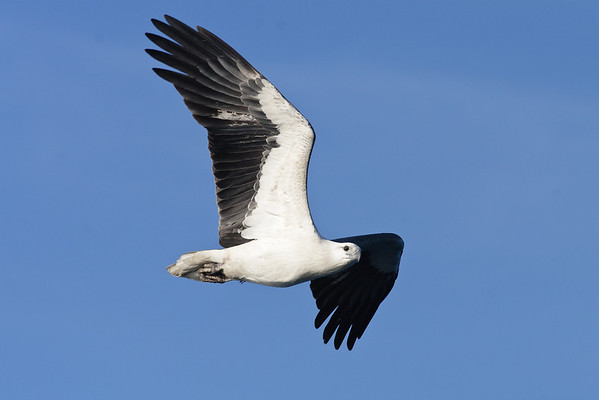 White-bellied Sea Eagle (flew straight in and grabbed some chum) Wollongong, NSW May 28, 2011 IMG_6442