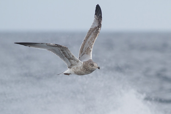 American Herring Gull (Larus smithsonianus)