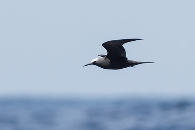 Black Noddy (Anous minutus)