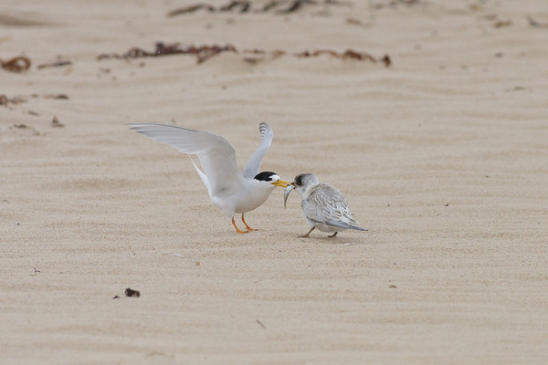 Fairy Tern feeding chick Lake Conjola, NSW January 09, 2011 IMG_2735