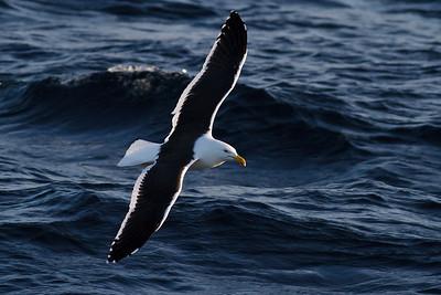 Kelp Gull Wollongong, NSW June 25, 2011 IMG_1802