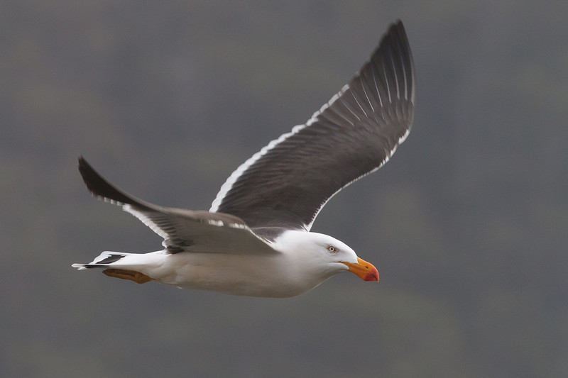 Pacific Gull Eaglehawk Neck, TAS September 03, 2011 IMG_1037