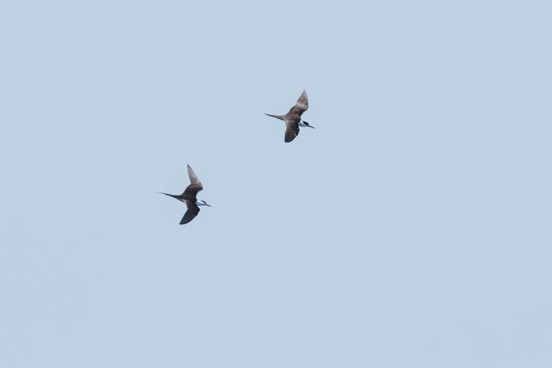 Sooty Tern (Onychoprion fuscatus)