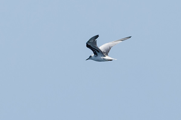White-winged Black Tern (Chlidonias leucopterus)