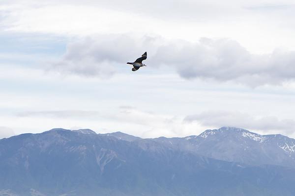 Arctic Jaeger Kaikoura, NZ December, 2010 IMG_7077