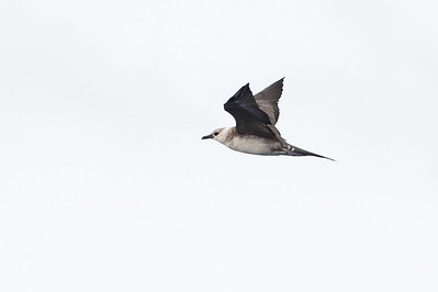 Long-tailed Jaeger Wollongong, NSW February 26, 2011 IMG_4229