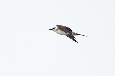 Long-tailed Jaeger Wollongong, NSW February 26, 2011 IMG_4227