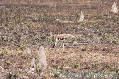 Australian Bustard Mt Carbine, QLD December, 2008 IMG_0445 A large group of Bustards were eating locusts in this burnt field.  At times they had to fend off Black kites, also eating the insects.