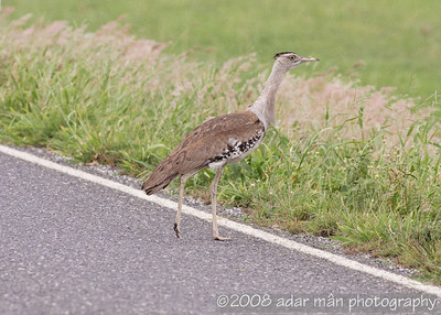 Australian Bustard Mt Carbine, QLD December, 2008 IMG_0391