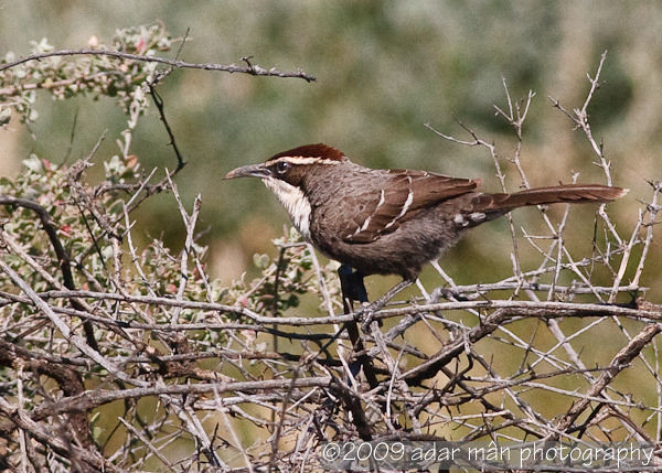 Chestnut-crowned Babbler (Pomatostomus ruficeps)