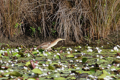 Black-backed Bittern (Ixobrychus dubius)