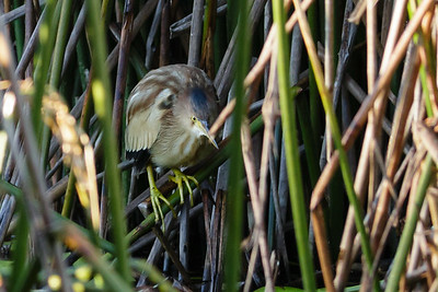 Yellow Bittern Ixobrychus sinensis July 08, 2014 IMG_2685