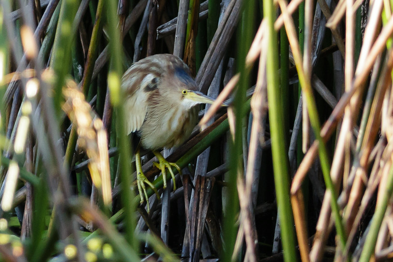 Yellow Bittern Ixobrychus sinensis July 08, 2014 IMG_2686