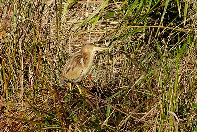 Yellow Bittern Ixobrychus sinensis July 08, 2014 IMG_2772
