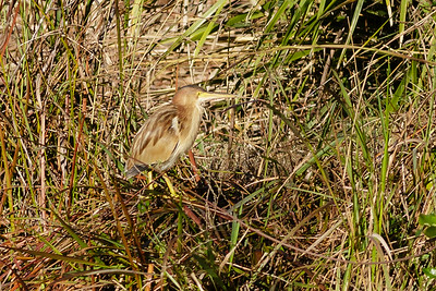 Yellow Bittern Ixobrychus sinensis July 08, 2014 IMG_2770