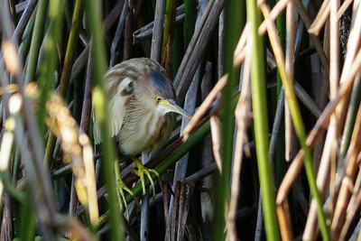 Yellow Bittern Ixobrychus sinensis July 08, 2014 IMG_2688