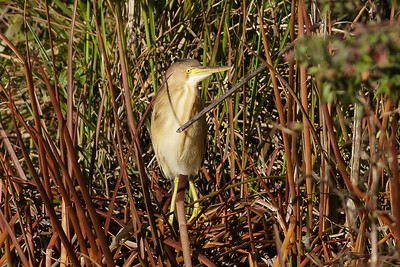 Yellow Bittern Ixobrychus sinensis July 08, 2014 IMG_2809