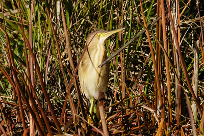 Yellow Bittern Ixobrychus sinensis July 08, 2014 IMG_2817