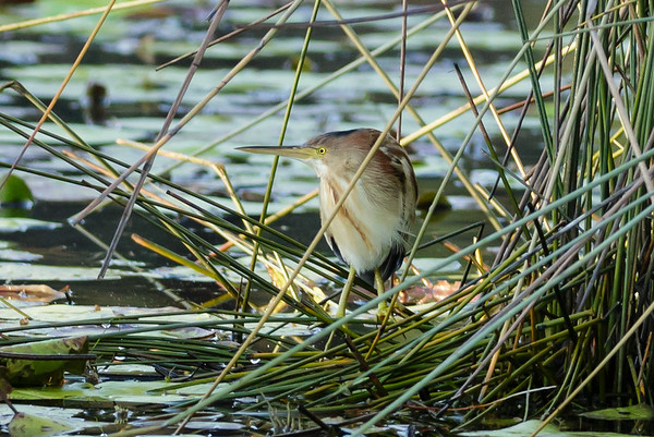 Yellow Bittern Ixobrychus sinensis July 08, 2014 IMG_2641