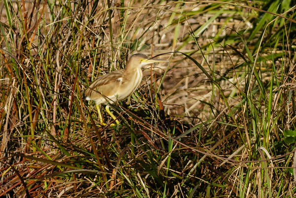 Yellow Bittern Ixobrychus sinensis July 08, 2014 IMG_2753