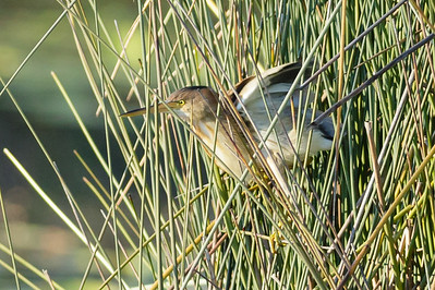 Yellow Bittern Ixobrychus sinensis July 08, 2014 IMG_2666