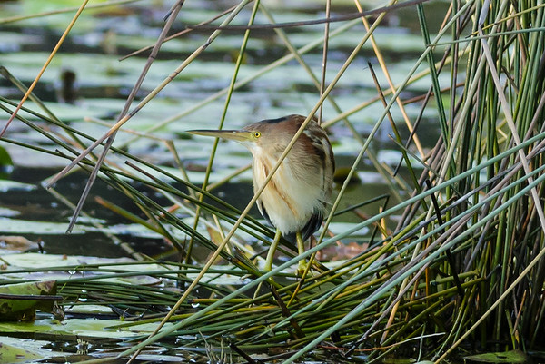 Yellow Bittern Ixobrychus sinensis July 08, 2014 IMG_2639