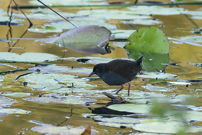 Spotless Crake July 08, 2014 IMG_2631