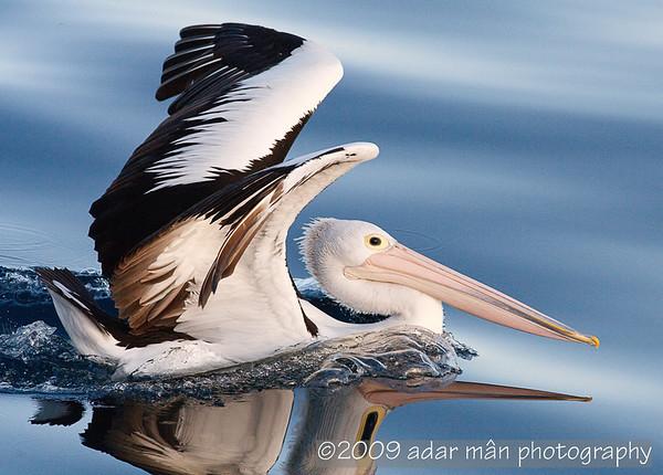 Australian Pelican Wollongong, NSW August, 2009 IMG_5103