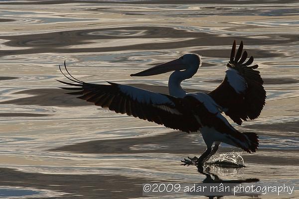 Australian Pelican Wollongong, NSW August, 2009 IMG_5075
